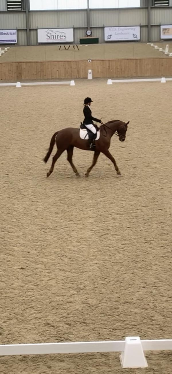 Dressage Horses For Sale Horses For Sale